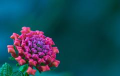 flower (ZAA91) Tags: flower macro macrodreams macrophotography purple green sonya7ii sonyalpha sony macrolens 100mm