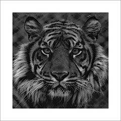 Big Cat (prendergasttony) Tags: blackwhite tiger tonyprendergast nikon d7200 nature wildlife florida america feline frame border eyes jacksonville nose endangered conservation big cat animal pet mammal carnivore