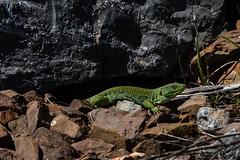 Lézard ocellé (G.Corsand) Tags: lézardocellé reptiles canon 5dmkiii sigma 500mm apo