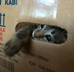 Keep out! (rjmiller1807) Tags: cat kitten kitty ollie foster fosterkitten fostercat 2017 november iphone iphonography iphonese tabby silver tabbysilver box catinabox cute