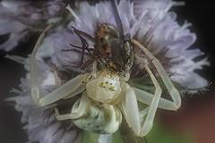 VB1I5680-aranacangrejo (nomaRags) Tags: macro araña cangrejo spider