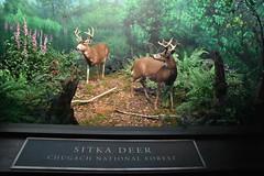 Sitka Deer - Chugach National Forest (Adventurer Dustin Holmes) Tags: 2018 wondersofwildlife museum deer sitkadeer chugachnationalforest nationalforest exhibit taxidermy