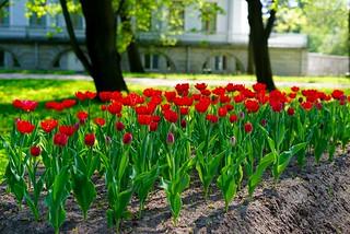 Тюльпаны)))