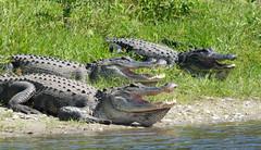 Hungry Gators! (ap0013) Tags: americanalligator gator alligator myakka river state park sarasota florida myakkariver statepark sarasotaflorida fl fla wildlife nature reptile animal