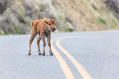 Bison calf walks in the road for the first time (YellowstoneNPS) Tags: ynp yellowstone yellowstonenationalpark bison reddog roads