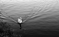 Feed Me! (WorcesterBarry) Tags: blackwhite blackandwhite bnw river swans wake ~monochrome~ candid weather worcester