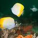 Chaetodon guentheri butterflyfish #marineexplorer