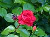 2018 Germany // Unser Garten - Our garden // im Mai // Rose Red Leonardo da Vinci - Beetrose // Meiiand 2003 (maerzbecher-Deutschland zu Fuss) Tags: garten natur deutschland germany maerzbecher garden unsergarten 2018 mai rose redleonardodavinci beetrose meiiand2003