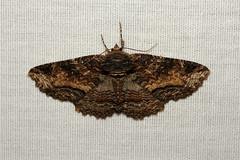 Zale minerea (Colorful Zale Moth) - Hodges # 8697 - WA, USA (Nick Dean1) Tags: zaleminerea colorfulzalemoth zale zalemoth lepidoptera moth washington animalia arthropoda arthropod hexapoda hexapod insect insecta