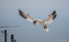 Helgoland - Basstölpel - Anflug (Pana53) Tags: photographedbypana53 pana53 basstölpel morusbassanus seevogel helgoland insel nordsee nordseeinsel northsea ozean gefieder nistmaterial nestmaterial flug anflug nikon nikond500
