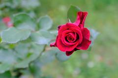 S18X4922 (Daegeon Shin) Tags: fujifilm xpro2 nikkor 50mmf12 lensturbo flower flor rosa rose dof mf manualfocus mirrorless 후지 니콘렌즈 렌즈터보 꽃 장미 심도 수동 미러리스