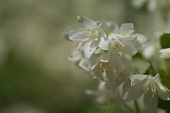 ヒメウツギ Deutzia gracilis (takapata) Tags: sony sel90m28g ilce7m2 macro nature flower