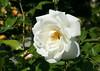 Edelrose 'Poker' (Wolfgang Bazer) Tags: edelrose poker hybrid tea rose garden teehybrid volksgarten wien vienna österreich austria blüte blossom blume flower