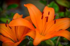 Orange Lillies (bcr160) Tags: another backyard flower orange lilies nikon d7100 nikkor 60mm bcr160 kl0