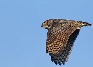 Great Horned Owl in flight...#14