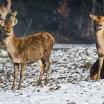 Two fallow deers in the snow thumbnail