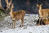 Two fallow deers in the snow (Tambako the Jaguar) Tags: fallowdeer deer three together standing lying winter cold snow tierparklangenberg zürich switzerland nikon d5