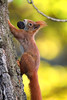 on the way up (judith.kuhn) Tags: eichhörnchen squirrel sciurusvulgaris animal natur nature tier säugetier mammal nager nagetier rodent futter food nut nuss walnuss walnut laub leaves baum tree klettern climbing outdoor wildlife