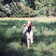 Glückliche Ziege ☺️ (Christian Passi - Steher82) Tags: 50mm ziege goats goat natur sonya6000 a6000 natura outdoor flickr face animal tier tiere animals vsco photo photography green may mai landschaft landscape wald gras baum feld