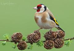 Gold Finch (oddie25) Tags: canon 1dxmkii 600mmf4ii finch goldfinch birds birdphotography bird wildlife wildlifephotography nature naturephotography larch