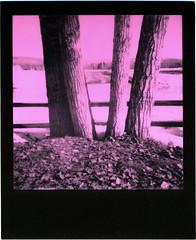 Creamer's Field (Robert Drozda) Tags: fairbanks alaska creamersfield trees field fence polaroid impossibleproject pinkblackduochromefilm roidweek2018 drozda
