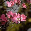 Dogwood branch 4 25 2018 (rbdal (Rick Dalrymple)) Tags: explore dogwood pinkdogwood pink tree blooms blossoms spring hillsboro washingtoncounty oregon d7000 nikon selectivefocus