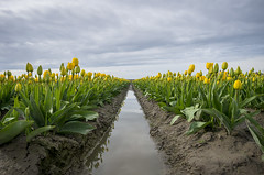 Yellow Tulip Rows (s.d.sea) Tags: tulips skagit valley tulip festival flowers flower floral grow nature plant plants garden farm field cloudy pnw pacificnorthwest washington washingtonstate mount vernon landscape pentax k5iis colorful roozengaarde spring april travel