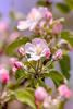 Apple-tree blossom (_Sylvian) Tags: depthoffield dof agriculture apple appletree bloom blooming blossom bokeh cherry closeup colorful colors country dreamworld flora flowers forest garden leaf leaves lot macro naturallight nature orchard outdoor park plants spring springtime woods
