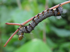 Forester moth caterpillar (Bug Eric) Tags: animals wildlife nature outdoors insects bugs caterpillars caterpillar larvae larva erebidae noctuidae lepidoptera austin texas usa forestermoth alypia northamerica april212018