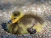 Sleeping Little Gosling (Mark Klotz) Tags: goose canadagoose canadageese gosling ryangosling burnabylake burnabylakeregionalpark canada burnabyparks markklotz babyanimals baby cute sweet babygoose sleepinggosling sleepingbaby bcwildlife wetlands canadianwildlife yellow