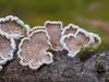 Spaltblättlinge (3l (dr.klaustrumm) Tags: spaltblättling pilz moos waldboden natur