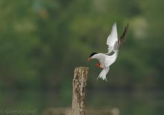 Sterne pierregarin-Sterna hirundo - Common Tern 7213_DxO.jpg (Zoizeaux de Gabriel) Tags: 500mmf4 commontern domainedesoiseaux mazères nikond5 occitanie oiseauxnet sternahirundo sternepierregarin