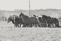 Hard workers (Aunt Owwee) Tags: horses doubleteam plowing amish