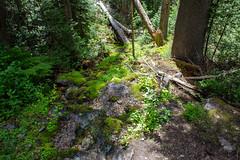 moss and brook (jlodder) Tags: alberta canada ca banffnationalpark moss trees water brook