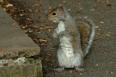 """Now where's he got to"" (david.england18) Tags: greysquirrel squirrel smallbirds variou tits blue great coal queensparkheywood usm craftymonkeys seethroughtub seeds nuts canon7dmkll canonef70200mmf28lisllusm"