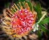 Leucospermum cultivar (Uhlenhorst) Tags: 2011 australia australien plants pflanzen flowers blumen blossoms blüten travel reisen