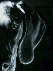 Ghost (LupaImages) Tags: dog canine suzann ghost weimaraner grey blue shadows pet family dark ear closeup portrait