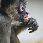 Profile of a baby spider monkey eating thumbnail