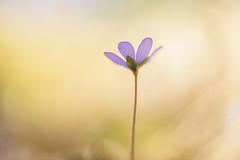 Hepatica (Helena Normark) Tags: hepatica hepaticanobilis anemonehepatica springflower liverleaf blåveis blåsippa trondheim sørtrøndelag norway norge sonyalpha7ii a7ii carlzeissplanart50mmf17 cy50mm17 50mm