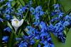 Spring colors (evisdotter) Tags: spring colors crocus scilla flowers blommor macro sooc