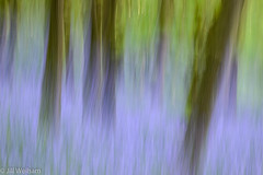 Blue Haze (Mirrored-Images) Tags: bluebells blur icm intentionalcameramovement movement