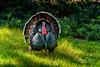 Wild Turkey-935083 (jbalfus) Tags: wildturkey golf sonya9mirrorless sonyalpha sonyilce9 fullframe sonyfe282470gm