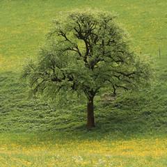 Tree in spring (calabro_valerie) Tags: dandelion spring tree
