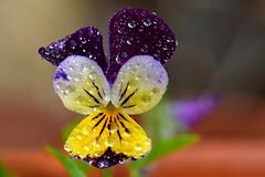 viola selvatica (luporosso) Tags: natura nature naturaleza naturalmente nikon nikonitalia fiori fiore flowers fleur flor flores colors colori gocce gotas goccia drops raindrops