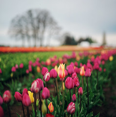 still time for tulips (manyfires) Tags: hasselblad hasselblad500cm square film analog mediumformat tulips tulip woodburn woodenshoetulipfestival oregon pnw pacificnorthwest blossom bloom spring field bokeh landscape flowers floralscape