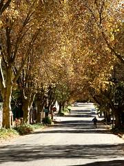 Johannesburg autumn street (peet-astn) Tags: johannesburg autumn street southafrica gauteng leaves trees road man sunday parkhurst