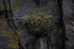 Life on the Side of a Cliff (jessicalowell20) Tags: stykkisholmur adventure black brown cliff cloudy clump cracks europe flower grass green iceland lichen may moss northatlanticocean rust spring summer travel westiceland wet white yellow