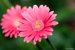 Goodnight (edzwa) Tags: sydney newsouthwales australia au flower flowers pink pinkflower bokeh bokehlicious closeup canon100mmf28lmacro canon6dmarkii macroflower macro
