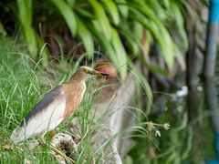 P5200989 (ybbuc) Tags: bird wildlife nature park grass water chachoengsao thailand