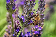 Bee Positive (mad_ruth) Tags: bee nature lavender pentax macro greece lesvos